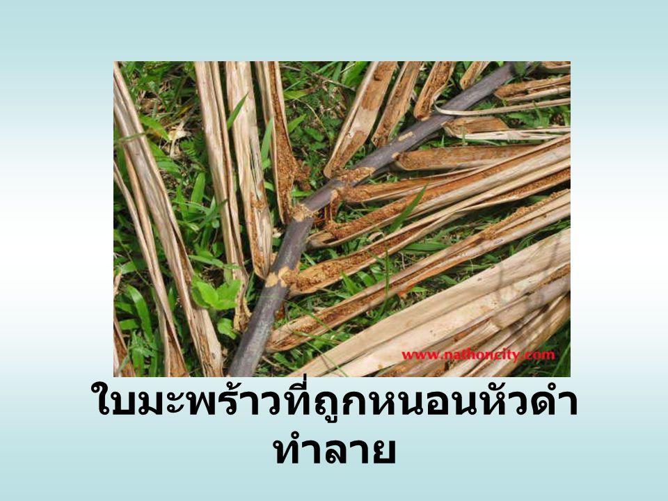 ต้นมะพร้าวที่ถูกหนอนหัวดำ ทำลาย