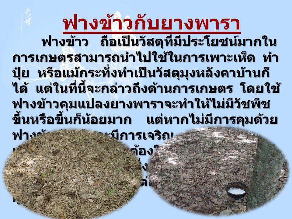 ฟางข้าวกับยางพารา ฟางข้าว ถือเป็นวัสดุที่มีประโยชน์มากใน การเกษตรสามารถนำไปใช้ในการเพาะเห็ด ทำ ปุ๋ย หรือแม้กระทั่งทำเป็นวัสดุมุงหลังคาบ้านก็ ได้ แต่ใน