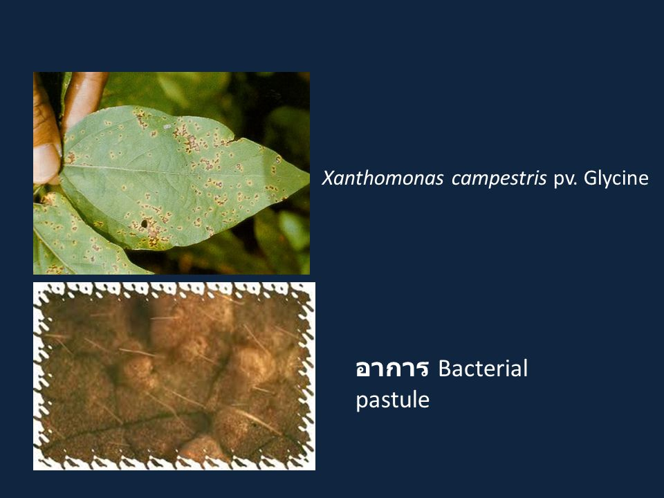 อาการ Bacterial pastule Xanthomonas campestris pv. Glycine