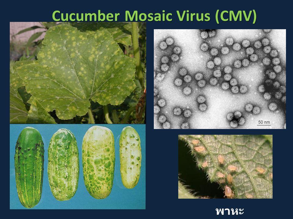Cucumber Mosaic Virus (CMV) พาหะ