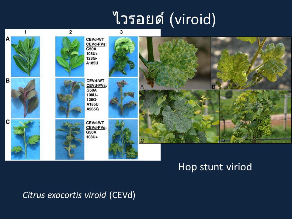 ไวรอยด์ (viroid) Citrus exocortis viroid (CEVd) Hop stunt viriod