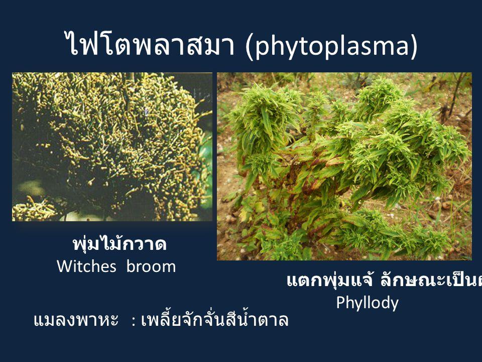 ไฟโตพลาสมา (phytoplasma) แมลงพาหะ : เพลี้ยจักจั่นสีน้ำตาล แตกพุ่มแจ้ ลักษณะเป็นฝอย Phyllody พุ่มไม้กวาด Witches broom