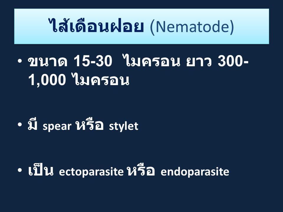 ไส้เดือนฝอย (Nematode) ขนาด 15-30 ไมครอน ยาว 300- 1,000 ไมครอน มี spear หรือ stylet เป็น ectoparasite หรือ endoparasite