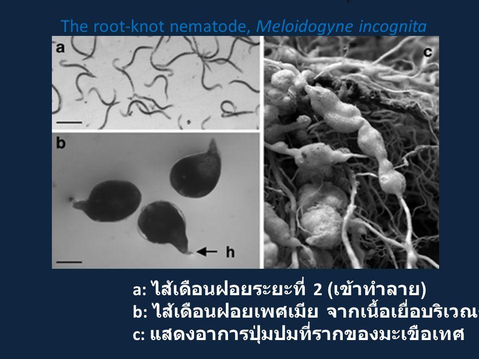 a: ไส้เดือนฝอยระยะที่ 2 ( เข้าทำลาย ) b: ไส้เดือนฝอยเพศเมีย จากเนื้อเยื่อบริเวณราก c: แสดงอาการปุ่มปมที่รากของมะเขือเทศ The root-knot nematode, Meloidogyne incognita