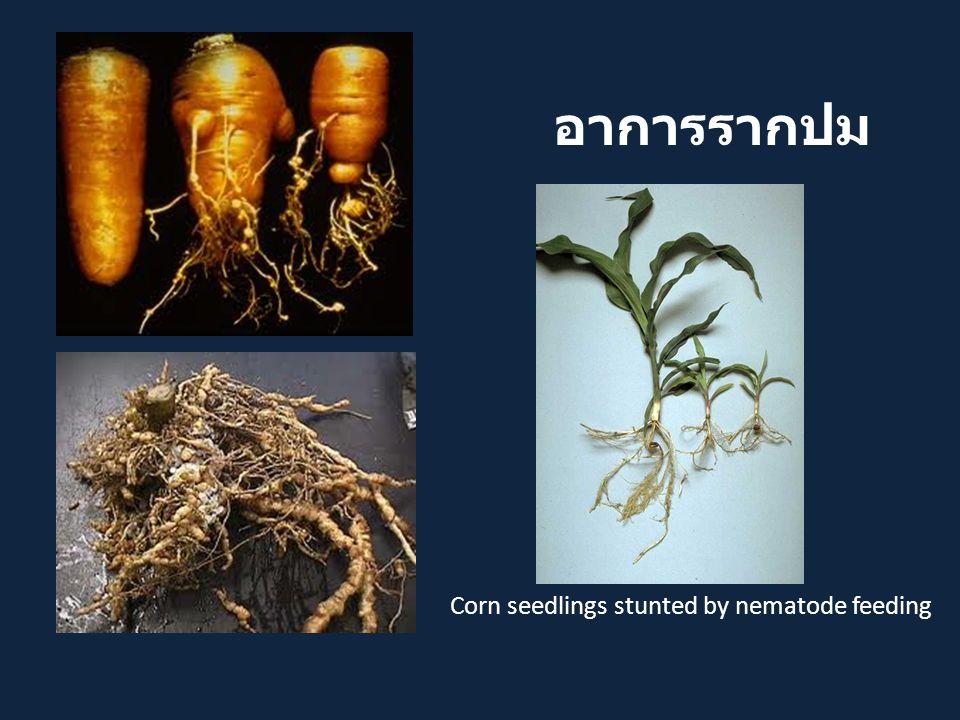 Corn seedlings stunted by nematode feeding อาการรากปม