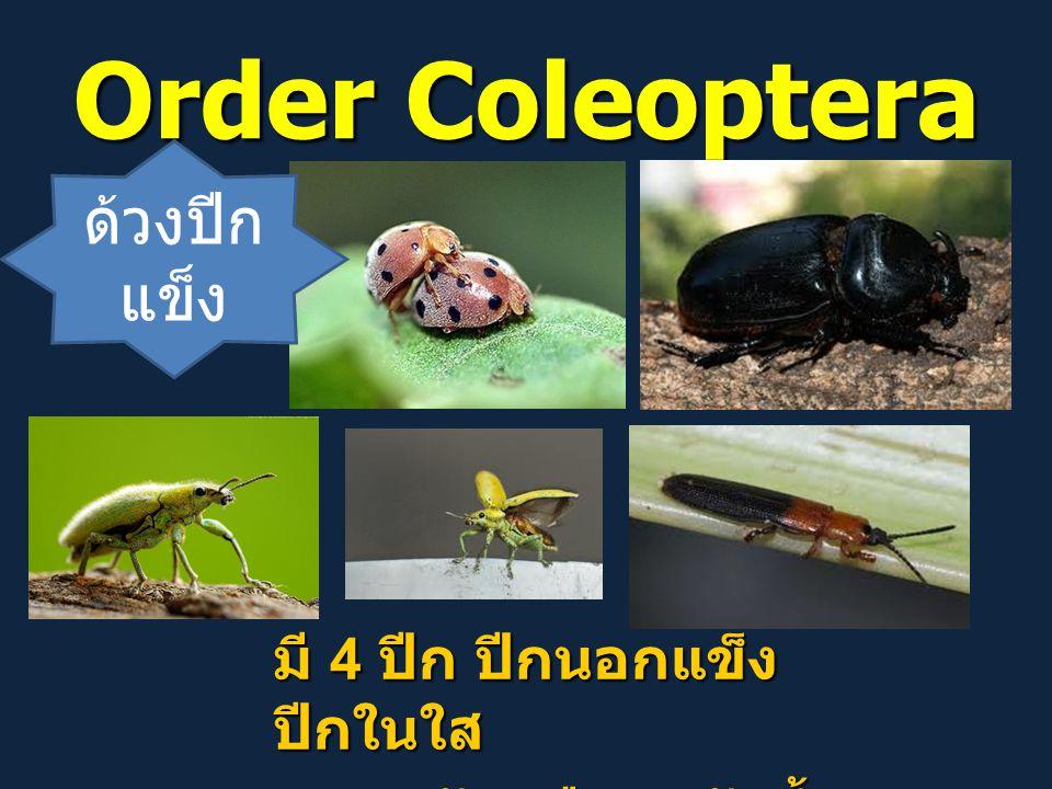 Order Coleoptera ด้วงปีก แข็ง มี 4 ปีก ปีกนอกแข็ง ปีกในใส ศัตรูพืช / ตัวห้ำ ศัตรูพืช / ตัวห้ำ