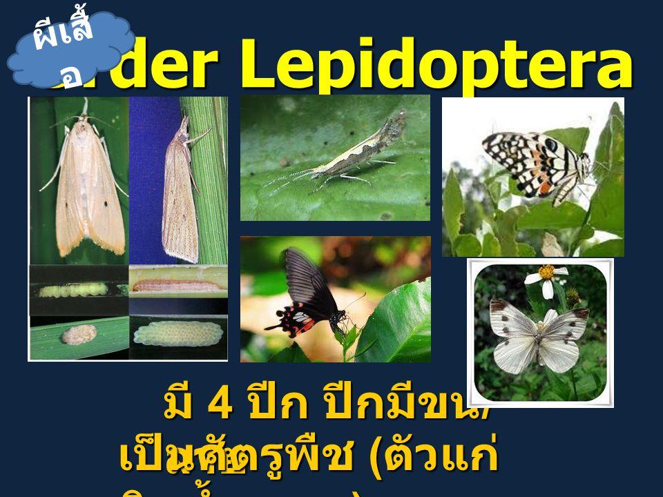 Order Lepidoptera มี 4 ปีก ปีกมีขน / ลาย เป็นศัตรูพืช ( ตัวแก่ กินน้ำหวาน ) ผีเสื้ อ