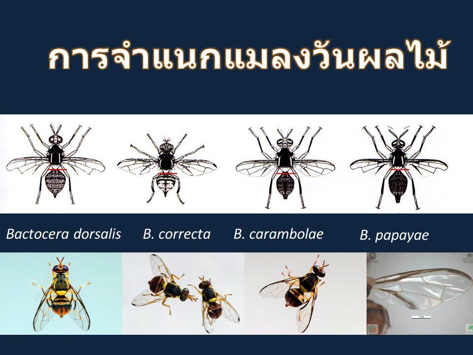 Bactocera dorsalisB. correctaB. carambolae B. papayae