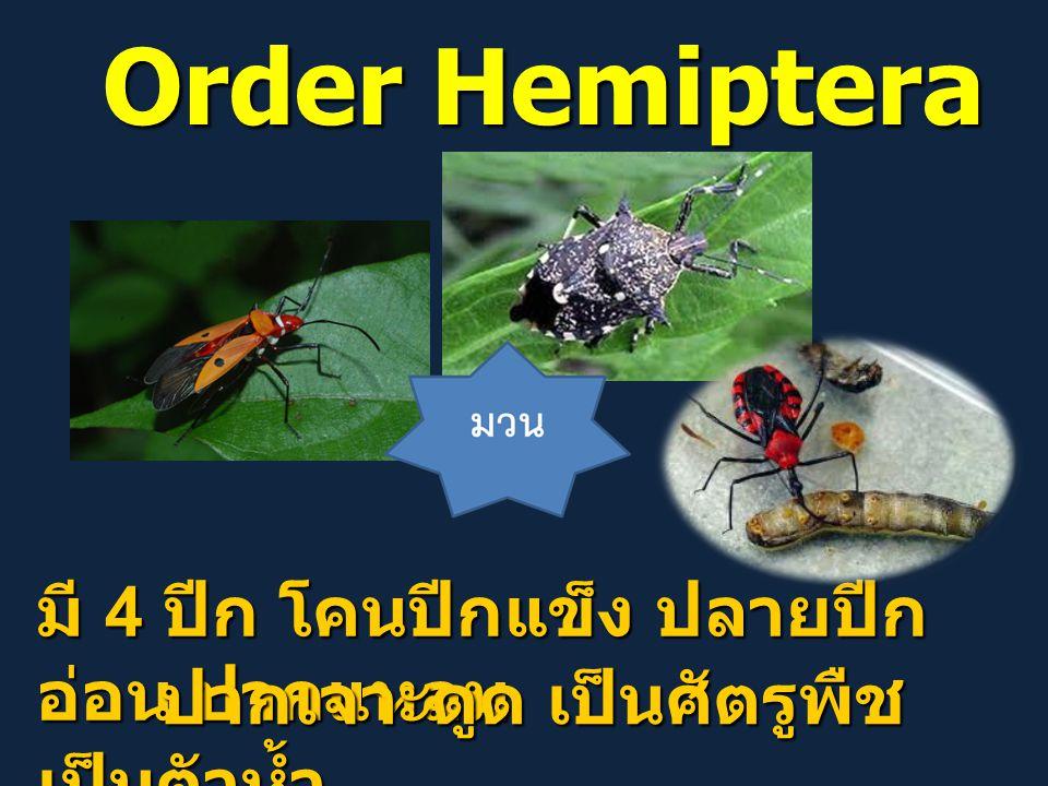 Order Hemiptera มี 4 ปีก โคนปีกแข็ง ปลายปีก อ่อน ปากแหลม ปากเจาะดูด เป็นศัตรูพืช เป็นตัวห้ำ ปากเจาะดูด เป็นศัตรูพืช เป็นตัวห้ำ