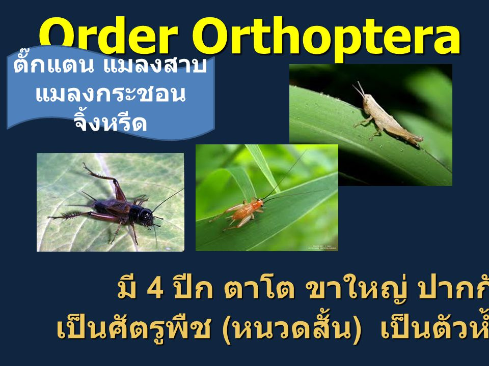 Order Orthoptera มี 4 ปีก ตาโต ขาใหญ่ ปากกัด มี 4 ปีก ตาโต ขาใหญ่ ปากกัด เป็นศัตรูพืช ( หนวดสั้น ) เป็นตัวห้ำ ( หนวดยาว ) ตั๊กแตน แมลงสาบ แมลงกระชอน จิ้งหรีด