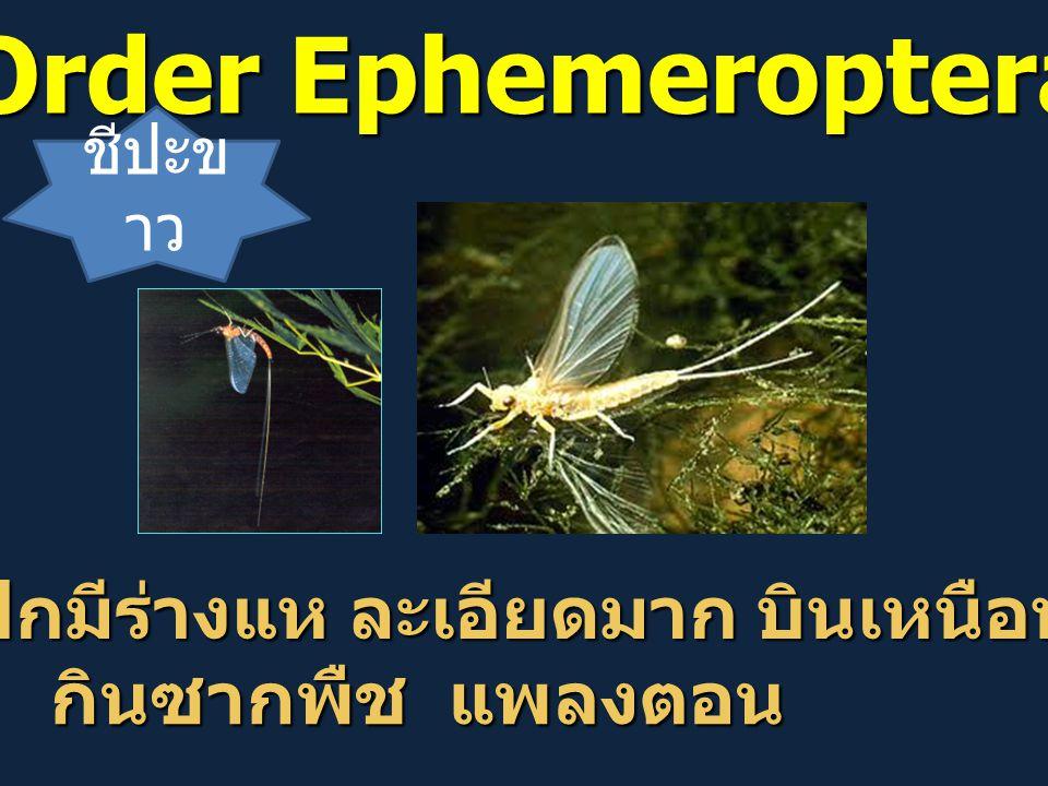 Order Ephemeroptera ปีกมีร่างแห ละเอียดมาก บินเหนือน้ำ กินซากพืช แพลงตอน ชีปะข าว