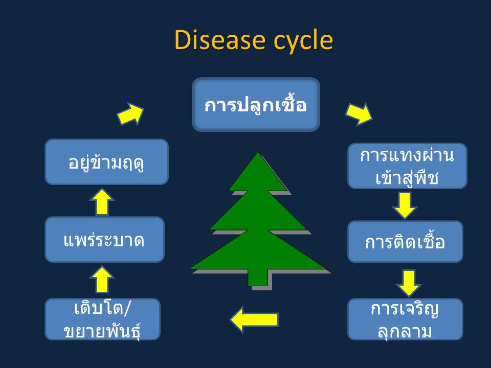 Disease cycle การปลูกเชื้อ การเจริญ ลุกลาม อยู่ข้ามฤดู การแทงผ่าน เข้าสู่พืช การติดเชื้อ เติบโต / ขยายพันธุ์ แพร่ระบาด