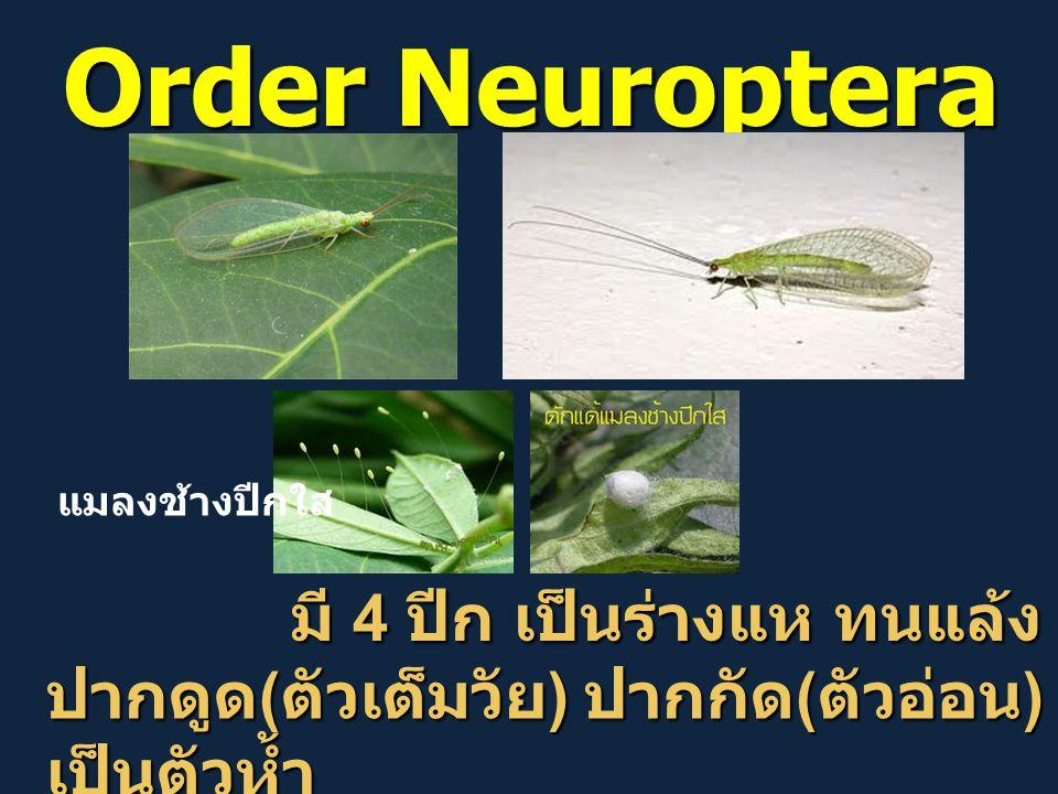 Order Neuroptera มี 4 ปีก เป็นร่างแห ทนแล้ง มี 4 ปีก เป็นร่างแห ทนแล้ง ปากดูด ( ตัวเต็มวัย ) ปากกัด ( ตัวอ่อน ) เป็นตัวห้ำ แมลงช้างปีกใส
