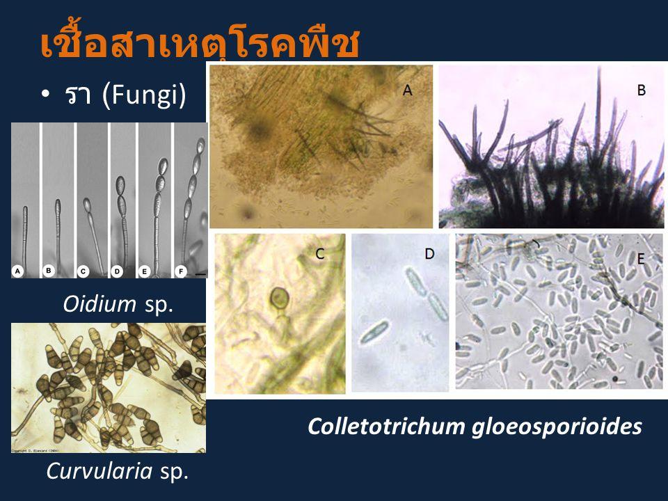 เชื้อสาเหตุโรคพืช รา (Fungi) Colletotrichum gloeosporioides Oidium sp. Curvularia sp.