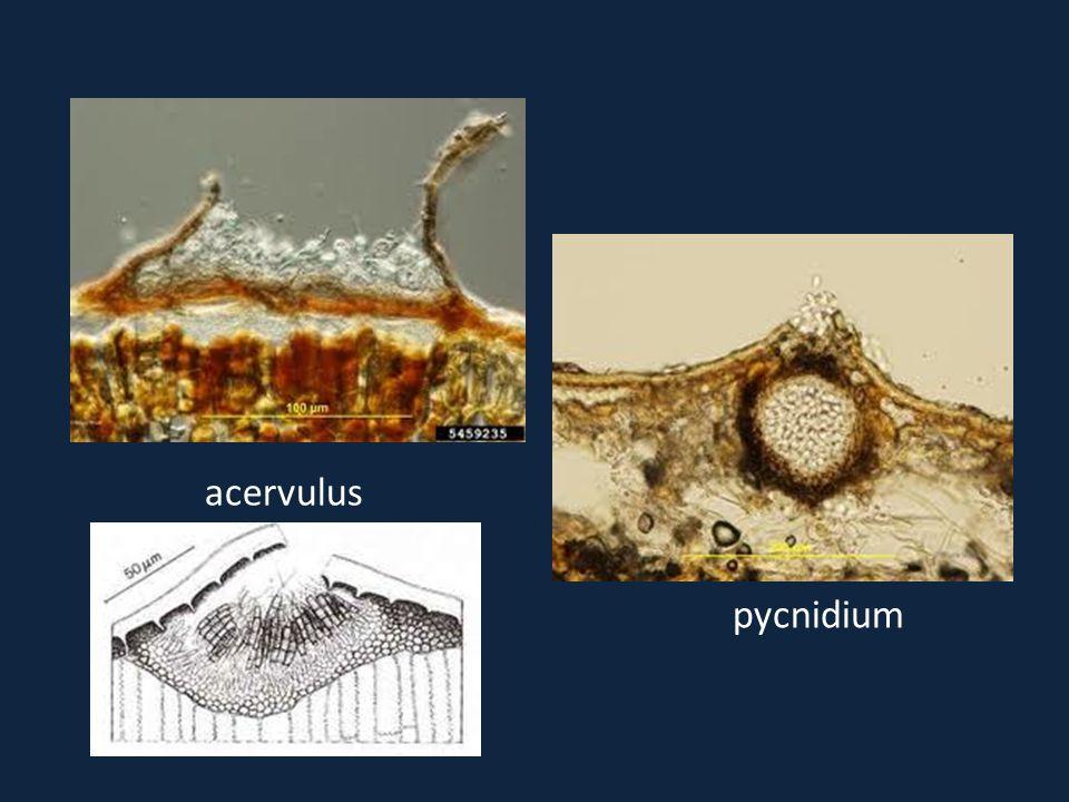 acervulus pycnidium