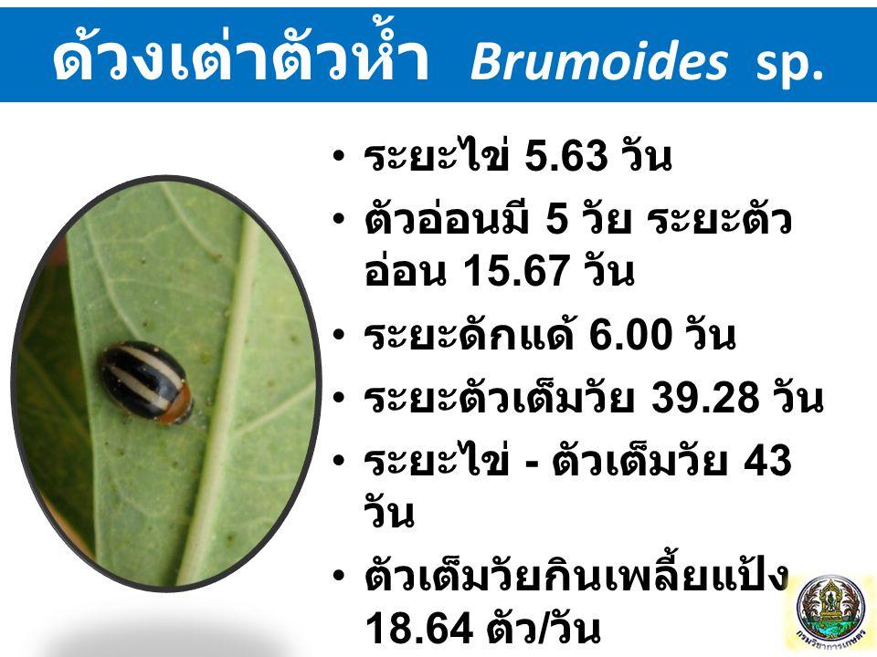 ด้วงเต่าตัวห้ำ Brumoides sp. ระยะไข่ 5.63 วัน ตัวอ่อนมี 5 วัย ระยะตัว อ่อน 15.67 วัน ระยะดักแด้ 6.00 วัน ระยะตัวเต็มวัย 39.28 วัน ระยะไข่ - ตัวเต็มวัย