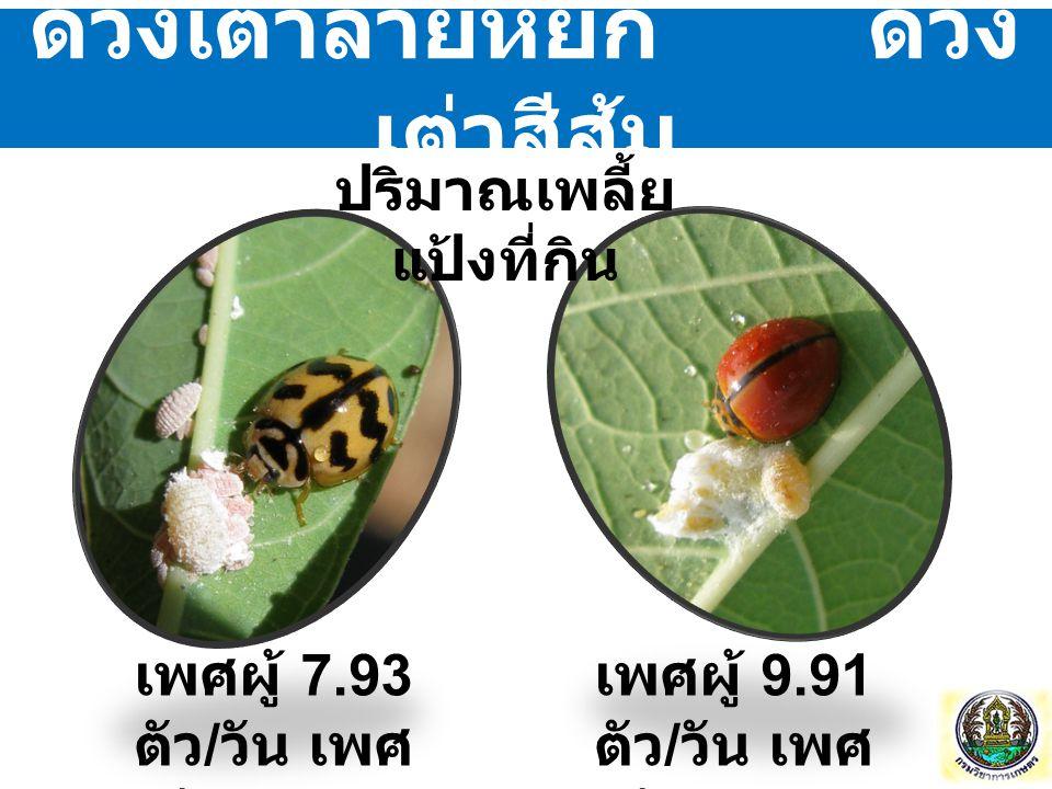 ด้วงเต่าลายหยัก ด้วง เต่าสีส้ม เพศผู้ 7.93 ตัว / วัน เพศ เมีย 6.77 ตัว / วัน เพศผู้ 9.91 ตัว / วัน เพศ เมีย 8.23 ตัว / วัน ปริมาณเพลี้ย แป้งที่กิน