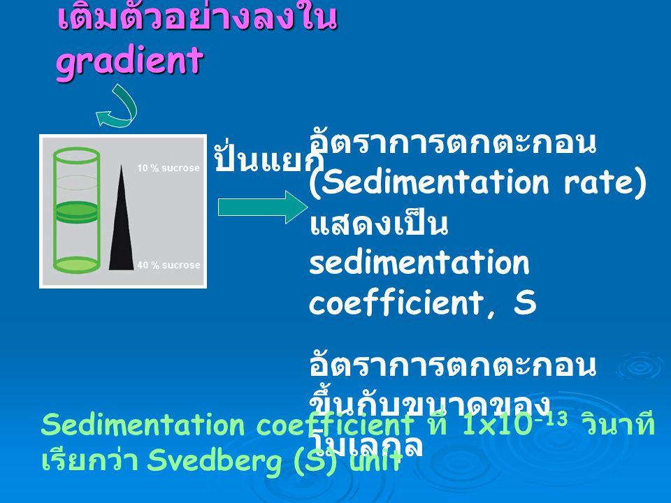 เติมตัวอย่างลงใน gradient ปั่นแยก อัตราการตกตะกอน (Sedimentation rate) แสดงเป็น sedimentation coefficient, S อัตราการตกตะกอน ขึ้นกับขนาดของ โมเลกุล Se