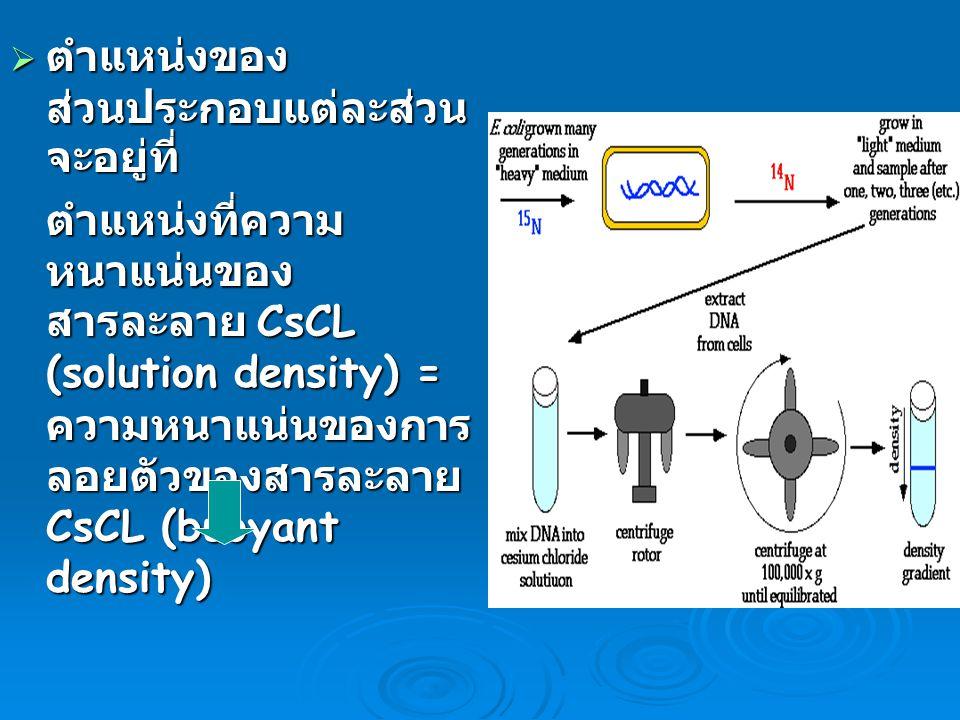  ตำแหน่งของ ส่วนประกอบแต่ละส่วน จะอยู่ที่ ตำแหน่งที่ความ หนาแน่นของ สารละลาย CsCL (solution density) = ความหนาแน่นของการ ลอยตัวของสารละลาย CsCL (buoy