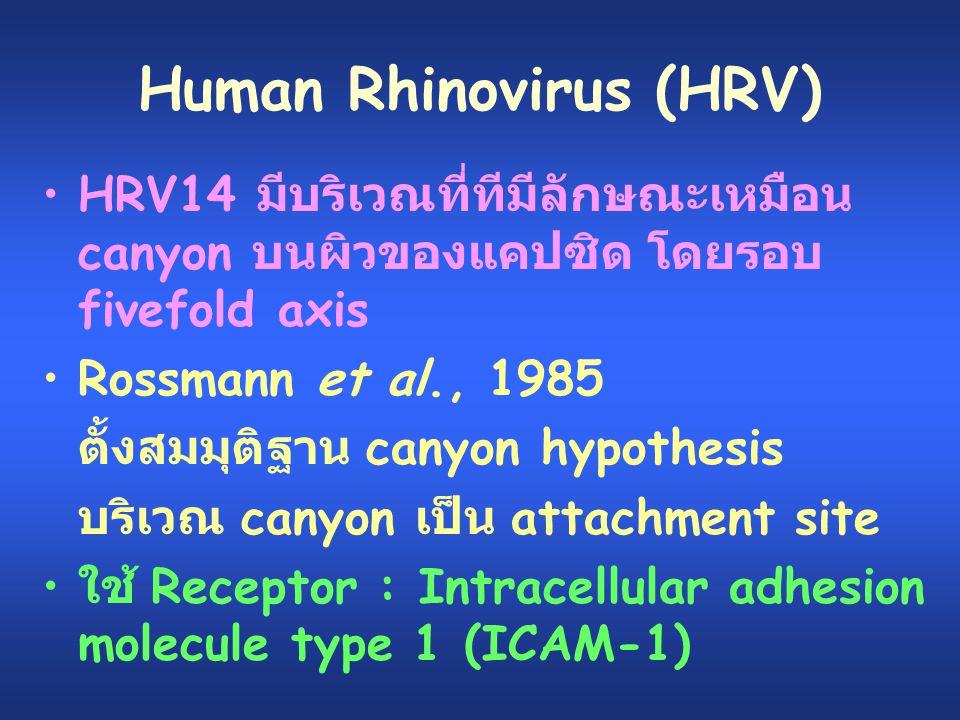 Human Rhinovirus (HRV) HRV14 มีบริเวณที่ทีมีลักษณะเหมือน canyon บนผิวของแคปซิด โดยรอบ fivefold axis Rossmann et al., 1985 ตั้งสมมุติฐาน canyon hypothe