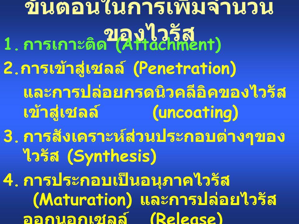 ขั้นตอนในการเพิ่มจำนวน ของไวรัส 1. การเกาะติด (Attachment) 2. การเข้าสู่เซลล์ (Penetration) และการปล่อยกรดนิวคลีอิคของไวรัส เข้าสู่เซลล์ (uncoating) 3