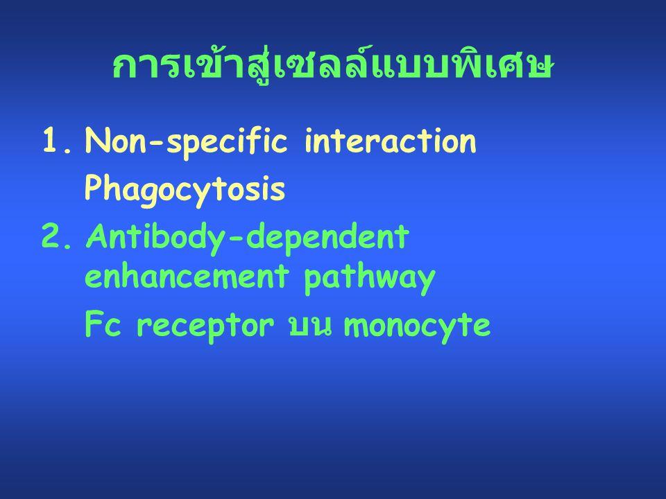 การเข้าสู่เซลล์แบบพิเศษ 1.Non-specific interaction Phagocytosis 2.Antibody-dependent enhancement pathway Fc receptor บน monocyte