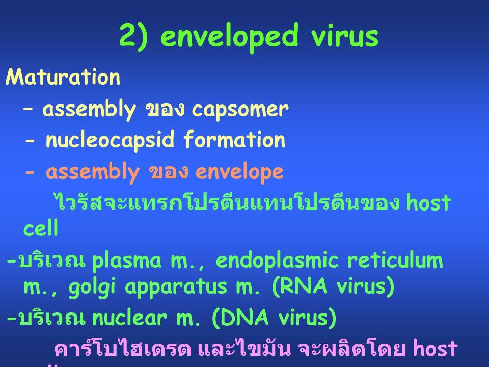 2) enveloped virus Maturation – assembly ของ capsomer - nucleocapsid formation - assembly ของ envelope ไวรัสจะแทรกโปรตีนแทนโปรตีนของ host cell - บริเว