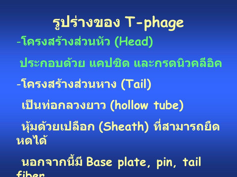 รูปร่างของ T-phage - โครงสร้างส่วนหัว (Head) ประกอบด้วย แคปซิด และกรดนิวคลีอิค - โครงสร้างส่วนหาง (Tail) เป็นท่อกลวงยาว (hollow tube) หุ้มด้วยเปลือก (