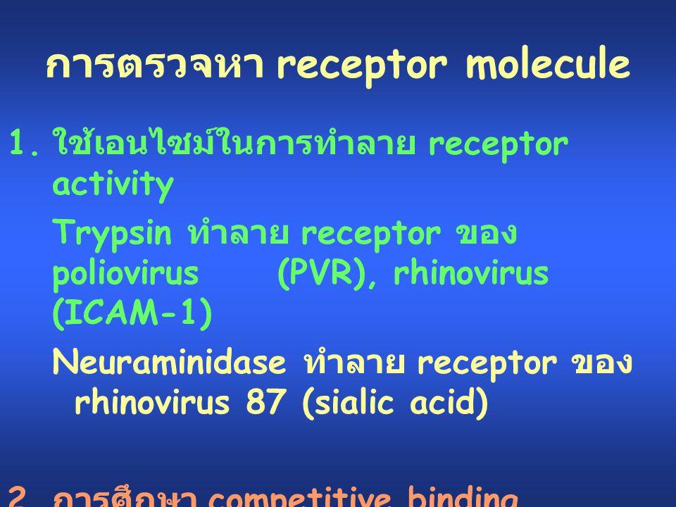 การตรวจหา receptor molecule 1. ใช้เอนไซม์ในการทำลาย receptor activity Trypsin ทำลาย receptor ของ poliovirus (PVR), rhinovirus (ICAM-1) Neuraminidase ท