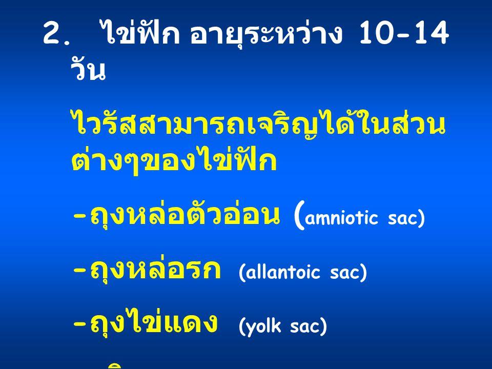 2. ไข่ฟักอายุระหว่าง 10-14 วัน ไวรัสสามารถเจริญได้ในส่วน ต่างๆของไข่ฟัก - ถุงหล่อตัวอ่อน ( amniotic sac) - ถุงหล่อรก (allantoic sac) - ถุงไข่แดง (yolk
