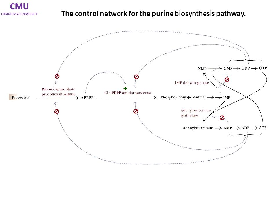 CMU CHIANG MAI UNIVERSITY The control network for the purine biosynthesis pathway.