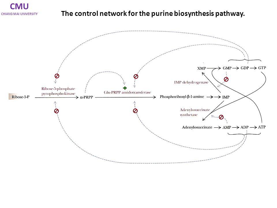 CMU CHIANG MAI UNIVERSITY Purine biosynthesis pathway Ribose-5-phosphate IMP มีการควบคุมโดย allosteric sites ที่ 2 steps แรก 1.