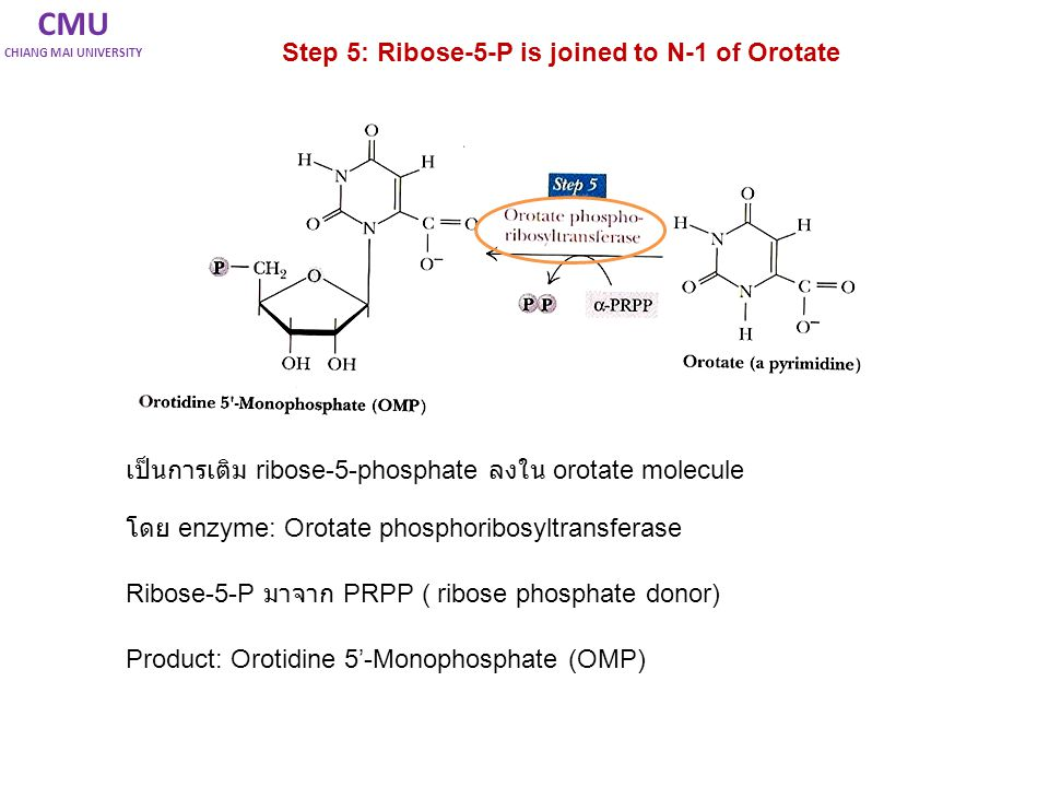 CMU CHIANG MAI UNIVERSITY Step 5: Ribose-5-P is joined to N-1 of Orotate เป็นการเติม ribose-5-phosphate ลงใน orotate molecule โดย enzyme: Orotate phos