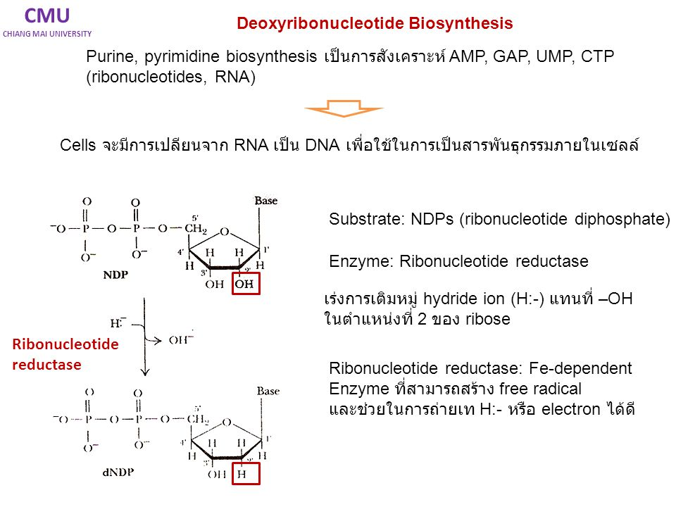 CMU CHIANG MAI UNIVERSITY Deoxyribonucleotide Biosynthesis Purine, pyrimidine biosynthesis เป็นการสังเคราะห์ AMP, GAP, UMP, CTP (ribonucleotides, RNA)