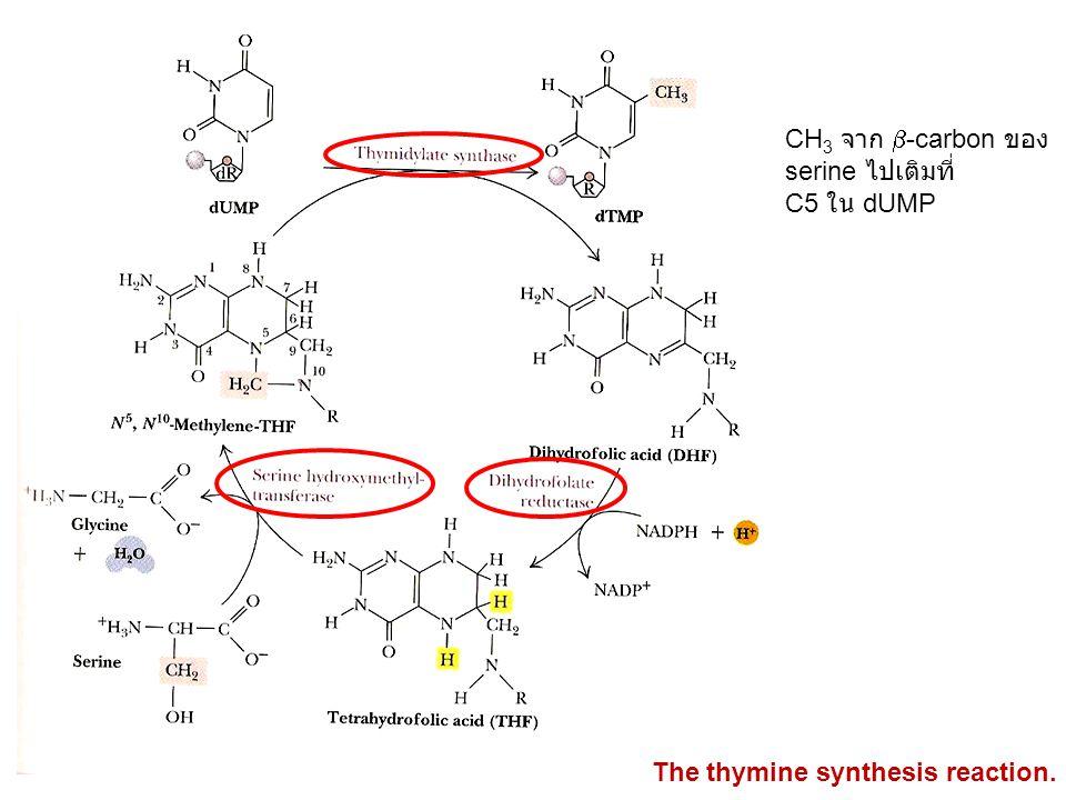 CH 3 จาก  -carbon ของ serine ไปเติมที่ C5 ใน dUMP The thymine synthesis reaction.