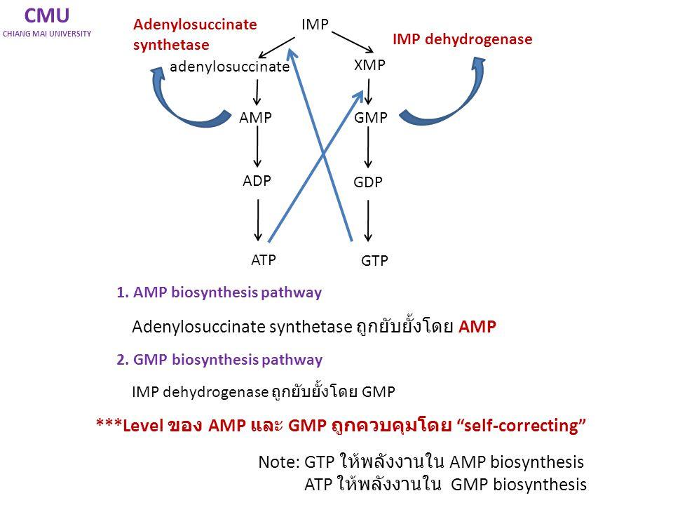 CMU CHIANG MAI UNIVERSITY IMP AMPGMP Adenylosuccinate synthetase IMP dehydrogenase 1. AMP biosynthesis pathway Adenylosuccinate synthetase ถูกยับยั้งโ