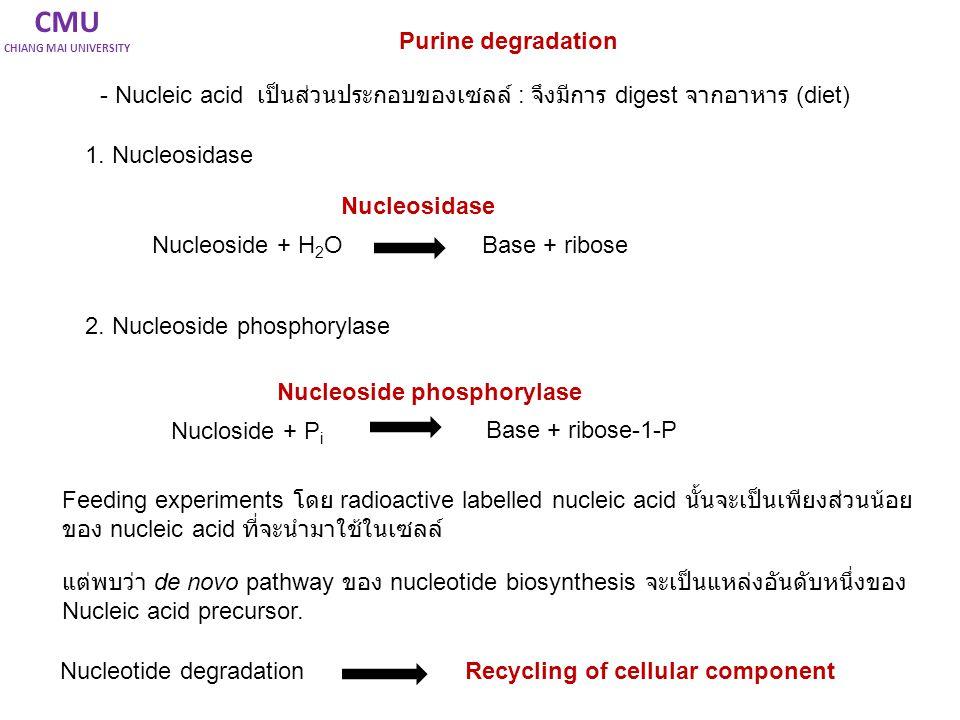 CMU CHIANG MAI UNIVERSITY Purine degradation - Nucleic acid เป็นส่วนประกอบของเซลล์ : จึงมีการ digest จากอาหาร (diet) 1. Nucleosidase 2. Nucleoside pho