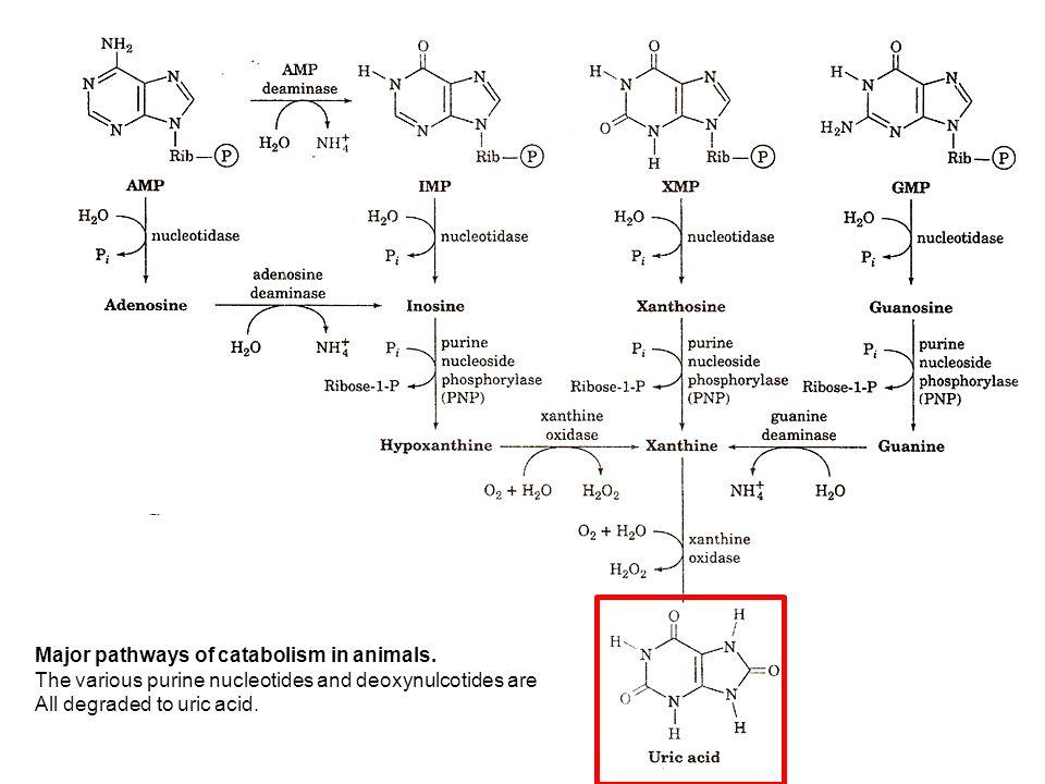 CMU CHIANG MAI UNIVERSITY Pathways of Purine catabolism 1.
