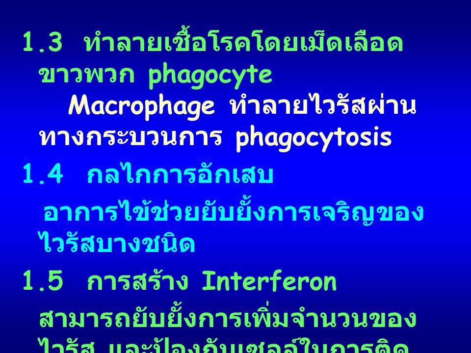 1.3 ทำลายเชื้อโรคโดยเม็ดเลือด ขาวพวก phagocyte Macrophage ทำลายไวรัสผ่าน ทางกระบวนการ phagocytosis 1.4 กลไกการอักเสบ อาการไข้ช่วยยับยั้งการเจริญของ ไว