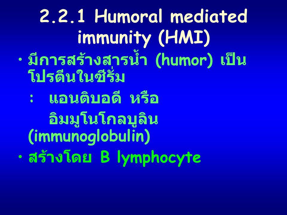 2.2.1 Humoral mediated immunity (HMI) มีการสร้างสารน้ำ (humor) เป็น โปรตีนในซีรั่ม : แอนติบอดี หรือ อิมมูโนโกลบูลิน (immunoglobulin) สร้างโดย B lympho