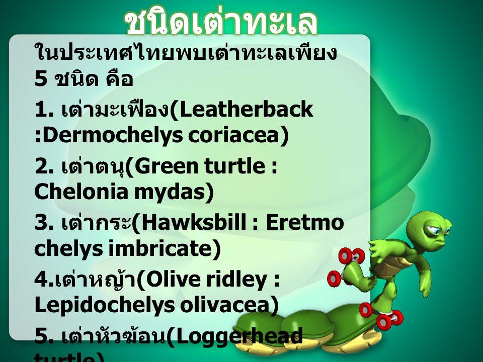 เต่าทะเล ( อังกฤษ : Sea turtle) เป็นเต่าที่อยู่ในวงศ์ใหญ่ Chelonioidea ซึ่งวิวัฒนาการจน สามารถอาศัยอยู่ได้ในทะเล ตลอดเวลา โดยจะไม่ขึ้นมาบนบก เลย นอกจากการวางไข่ของตัว เมียเท่านั้น อังกฤษเต่า ถึงแม้เต่าทะเลจะดำรงชีวิตใน ทะเล แต่ก็ยังคงคุณลักษณะของ สัตว์เลื้อยคลานทั่วไป มีกระดอง เป็นเกล็ดรูปทรงรีหรือรูปหัวใจ แต่ ทว่าทั้งหัวและขาของเต่าทะเลนั้น ไม่สามารถที่จะหดเข้าไปใน กระดองได้ สัตว์เลื้อยคลาน
