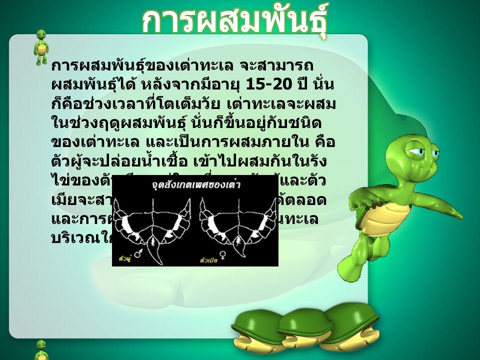 การผสมพันธุ์ของเต่าทะเล จะสามารถ ผสมพันธุ์ได้ หลังจากมีอายุ 15-20 ปี นั่น ก็คือช่วงเวลาที่โตเต็มวัย เต่าทะเลจะผสม ในช่วงฤดูผสมพันธุ์ นั่นก็ขึ้นอยู่กับชนิด ของเต่าทะเล และเป็นการผสมภายใน คือ ตัวผู้จะปล่อยน้ำเชื้อ เข้าไปผสมกันในรัง ไข่ของตัวเมีย แต่ในหนึ่งฤดู ตัวผู้และตัว เมียจะสามารถผสมกับตัวอื่น ๆ ได้ตลอด และการผสมพันธุ์กัน จะเกิดขึ้นในทะเล บริเวณใกล้กับสถานที่วางไข่ หมายเหตุ : ตัวผู้หางจะมีหางที่ยาวกว่าตัว เมีย