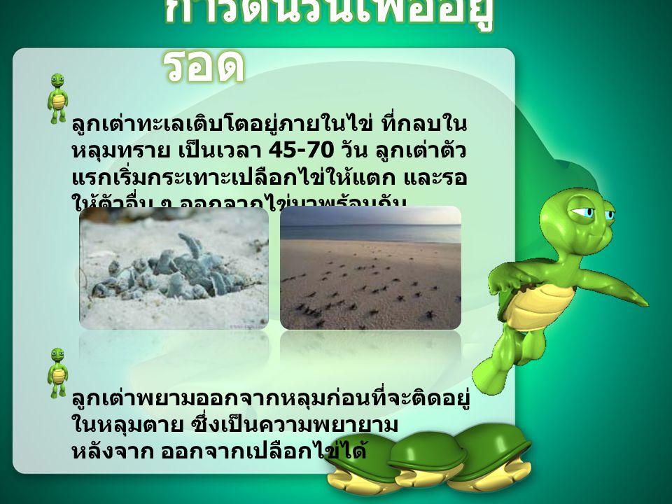 ลูกเต่าทะเลเติบโตอยู่ภายในไข่ ที่กลบใน หลุมทราย เป็นเวลา 45-70 วัน ลูกเต่าตัว แรกเริ่มกระเทาะเปลือกไข่ให้แตก และรอ ให้ตัวอื่น ๆ ออกจากไข่มาพร้อมกัน ลูกเต่าพยามออกจากหลุมก่อนที่จะติดอยู่ ในหลุมตาย ซึ่งเป็นความพยายาม หลังจาก ออกจากเปลือกไข่ได้