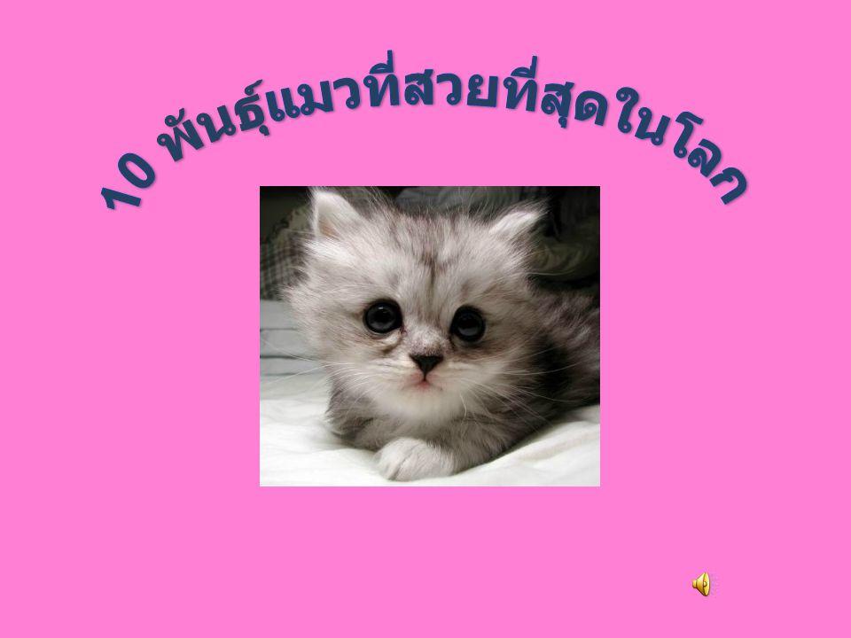 อันดับที่ 8 ได้แก่ ชอซี (Chausie) แมวที่เกิดจากการผสมข้ามสาย พันธ์