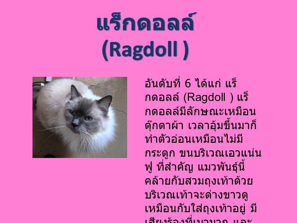 อันดับที่ 6 ได้แก่ แร็ กดอลล์ (Ragdoll ) แร็ กดอลล์มีลักษณะเหมือน ตุ๊กตาผ้า เวลาอุ้มขึ้นมาก็ ทำตัวอ่อนเหมือนไม่มี กระดูก ขนบริเวณเอวแน่น ฟู ที่สำคัญ แ