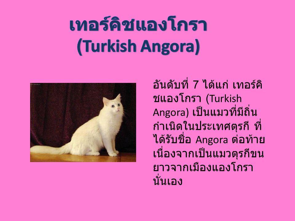 อันดับที่ 7 ได้แก่ เทอร์คิ ชแองโกรา (Turkish Angora) เป็นแมวที่มีถิ่น กำเนิดในประเทศตุรกี ที่ ได้รับชื่อ Angora ต่อท้าย เนื่องจากเป็นแมวตุรกีขน ยาวจาก