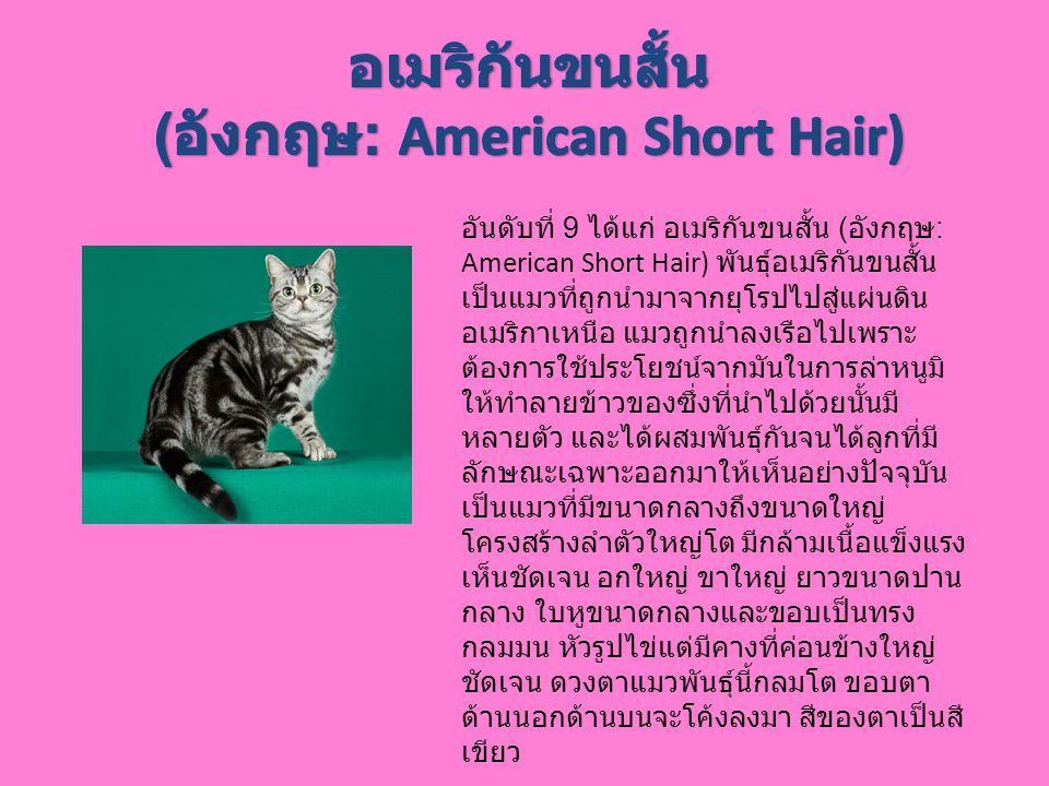 อันดับที่ 9 ได้แก่ อเมริกันขนสั้น ( อังกฤษ : American Short Hair) พันธุ์อเมริกันขนสั้น เป็นแมวที่ถูกนำมาจากยุโรปไปสู่แผ่นดิน อเมริกาเหนือ แมวถูกนำลงเร