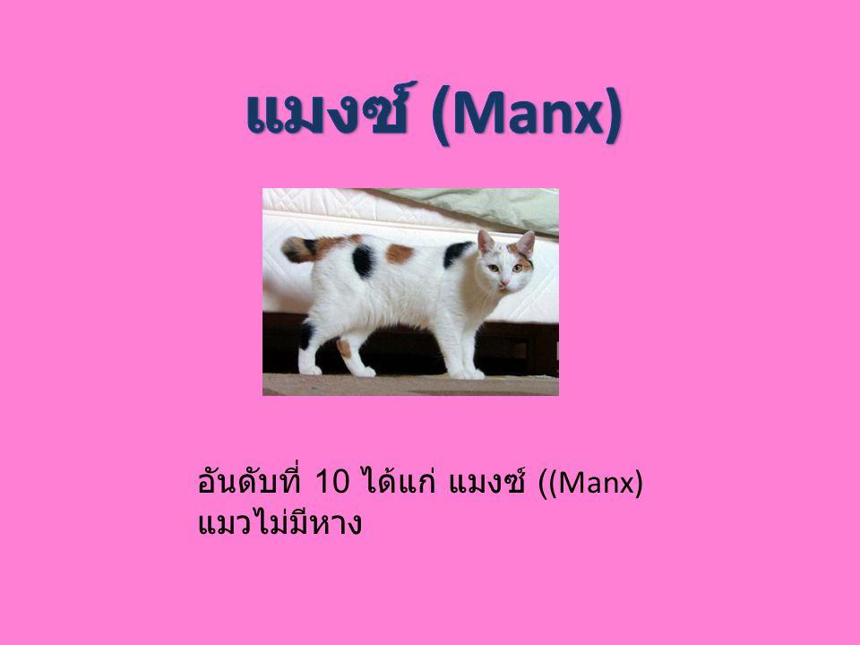 อันดับที่ 10 ได้แก่ แมงซ์ ((Manx) แมวไม่มีหาง