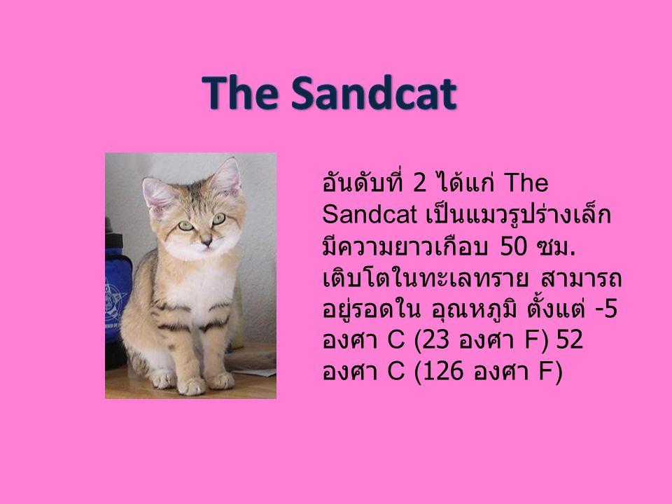 อันดับที่ 2 ได้แก่ The Sandcat เป็นแมวรูปร่างเล็ก มีความยาวเกือบ 50 ซม. เติบโตในทะเลทราย สามารถ อยู่รอดใน อุณหภูมิ ตั้งแต่ -5 องศา C (23 องศา F) 52 อง