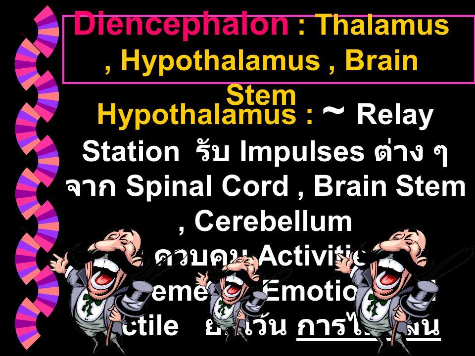 Diencephalon : Thalamus, Hypothalamus, Brain Stem Hypothalamus : ~ Relay Station รับ Impulses ต่าง ๆ จาก Spinal Cord, Brain Stem, Cerebellum : ควบคุม
